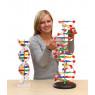 [DNA - model]