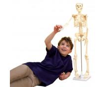 [Kostra ľudského tela 80cm]