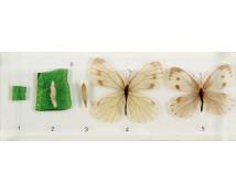 [Životní cyklus motýla- model]