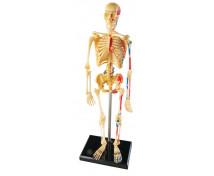[Model lidské kostry]