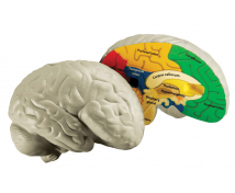 [Mozek - pěnový model]