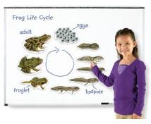 [Životní cyklus - magnety - Životní cyklus žáby (9 ks)]