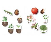 [Životní cyklus - magnety - Životní cyklus rostlin (12 ks)]