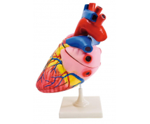 [Detailní model srdce]