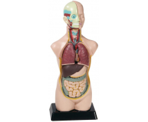 [Model - lidské torzo, 50 cm]