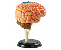 [Mini model mózgu]
