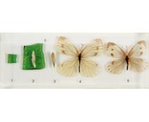 [Životný cyklus motýľa - model]