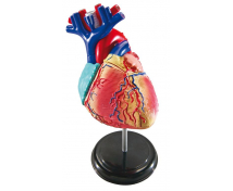 [Minimodel - srdce]