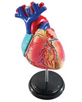 Minimodel - srdce