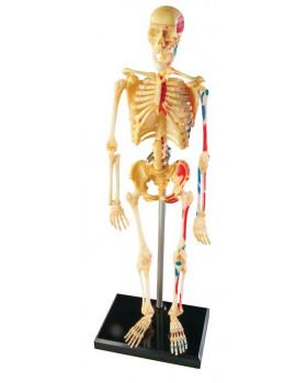 Model ľudskej kostry