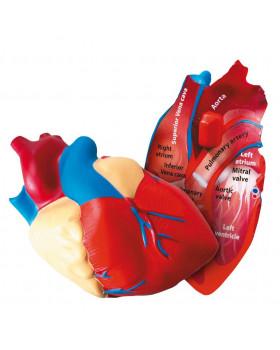 Srdce - penový model