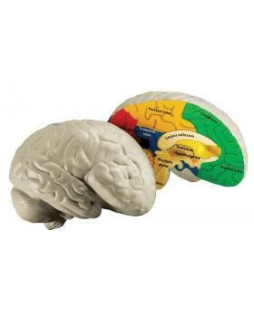 Mozog - penový model