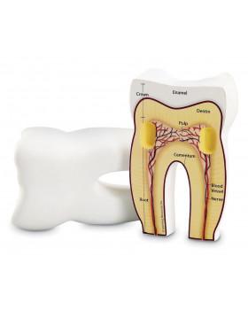 Zub - penový model