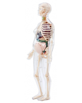 Tehotná žena - model