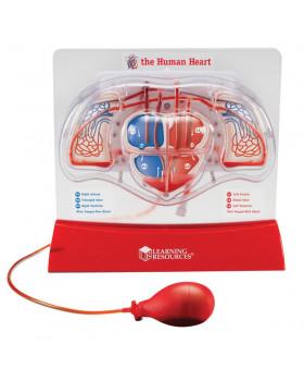 Obehový systém srdca